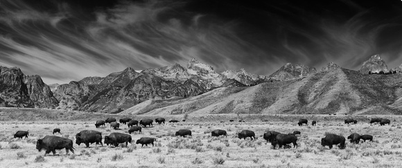 Roaming Bison in Black and White