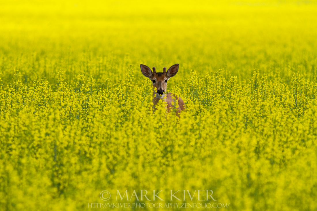 Buck in Canola