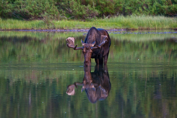 Moose Drinking in Lake