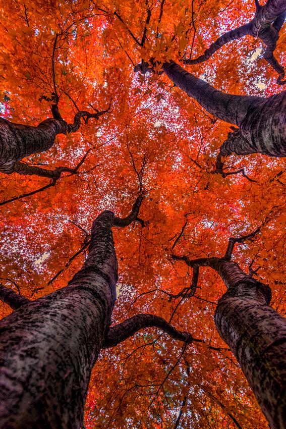 Nishinomiya Japanese Garden - Autumn Trees