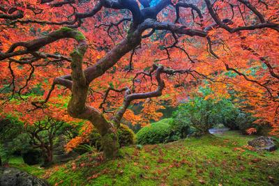 Portland Japanese Maple