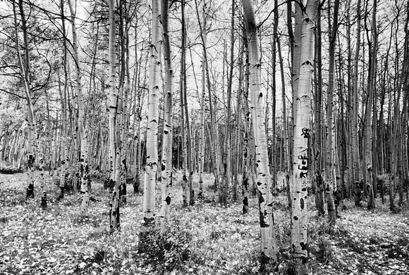 La Sal Aspen Black and White